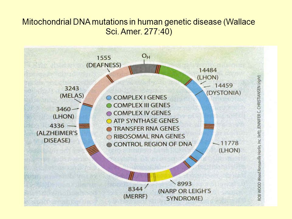 Mitochondrial DNA mutations in human genetic disease (Wallace Sci. Amer. 277:40)