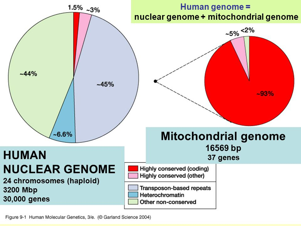 nuclear genome + mitochondrial genome