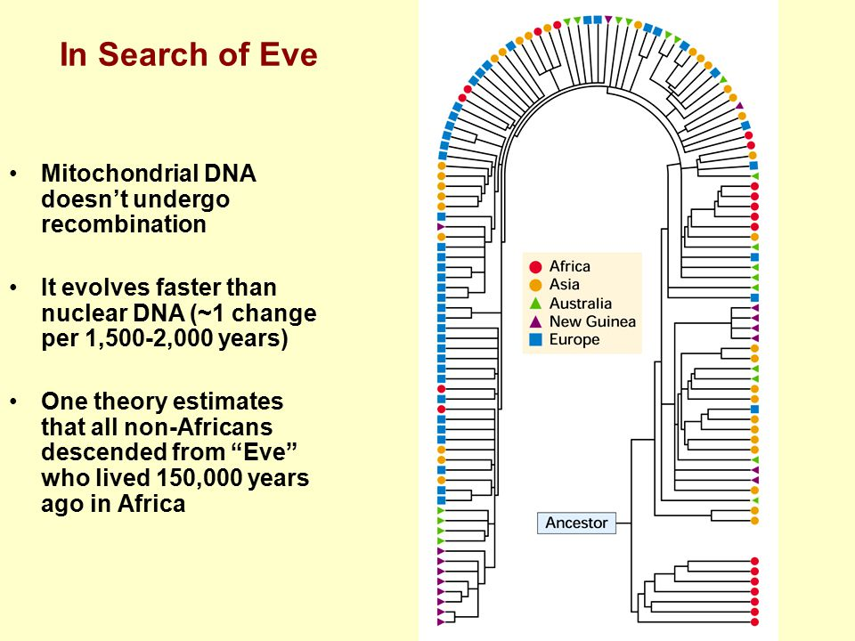In Search of Eve Mitochondrial DNA doesn't undergo recombination