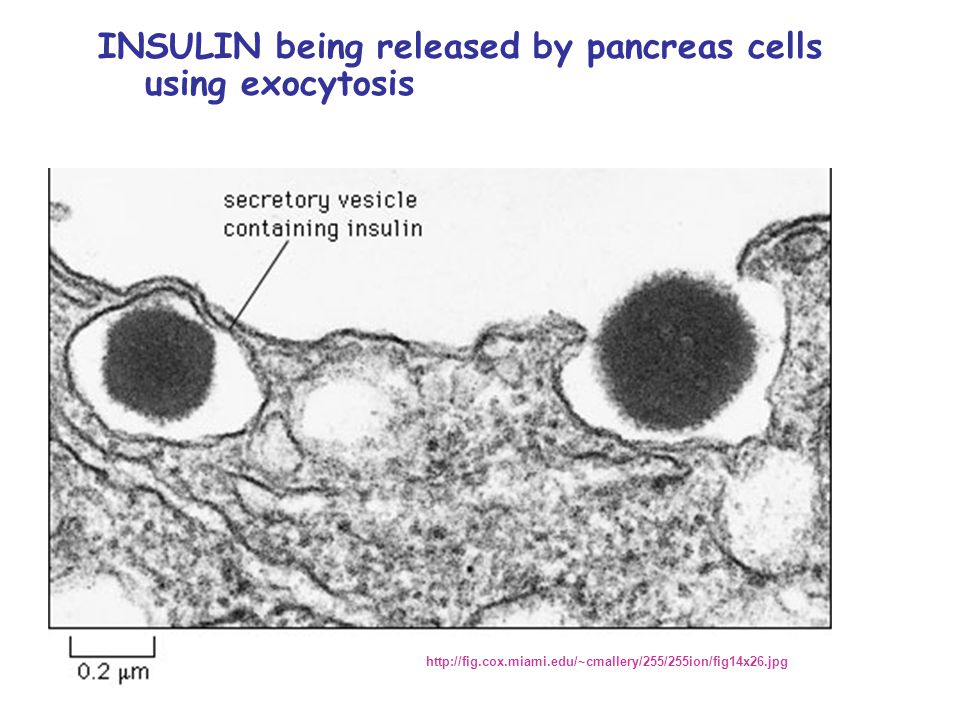 INSULIN being released by pancreas cells using exocytosis