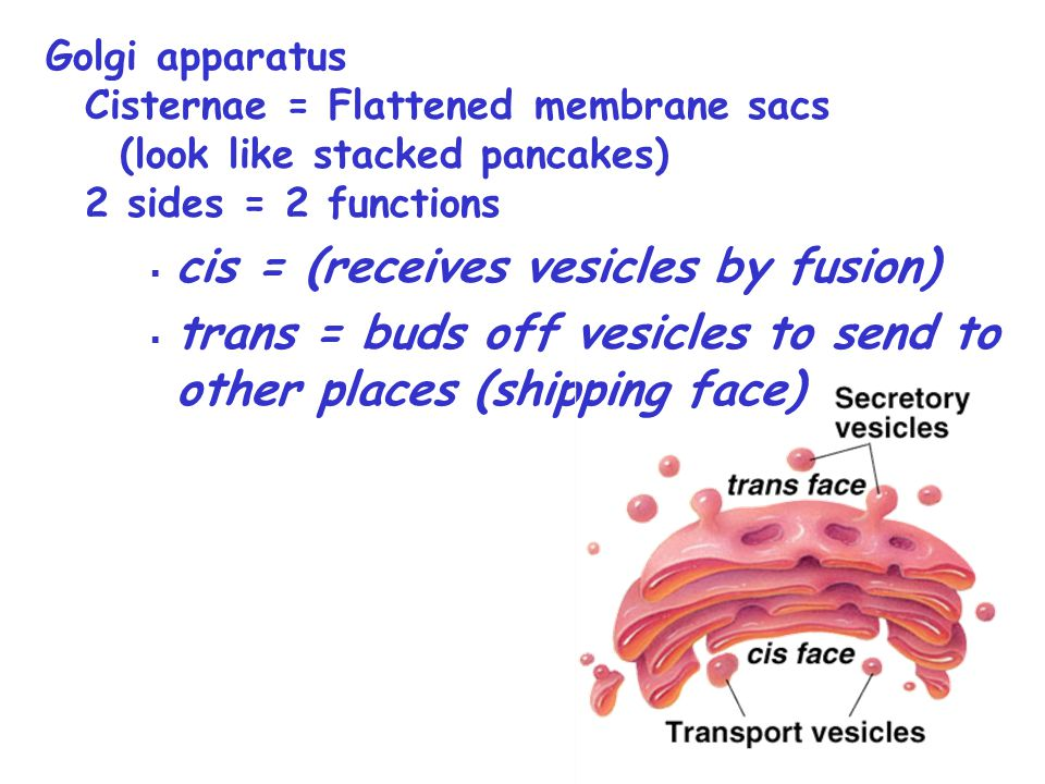 cis = (receives vesicles by fusion)