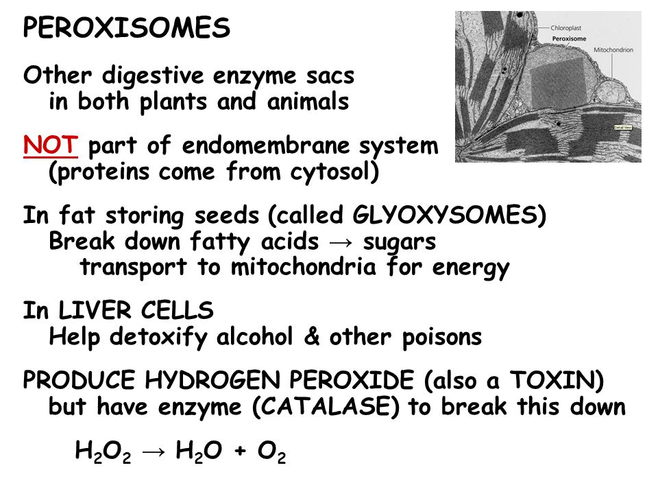PEROXISOMES Other digestive enzyme sacs in both plants and animals