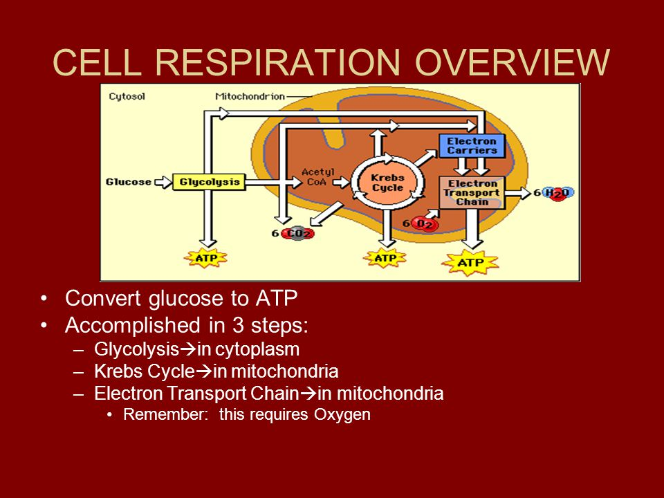 CELL RESPIRATION OVERVIEW