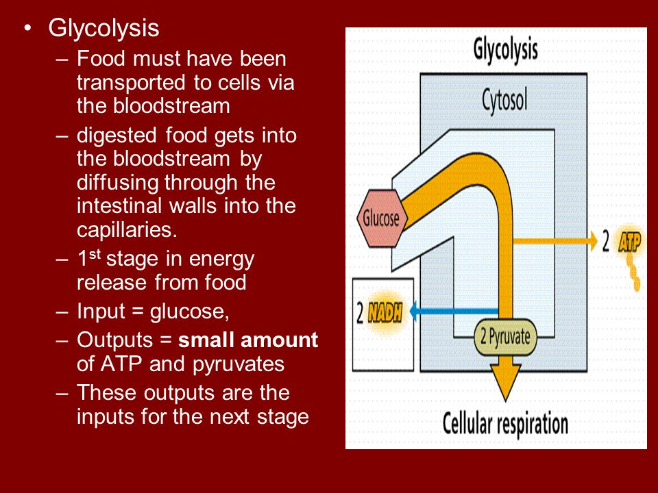 Glycolysis Food must have been transported to cells via the bloodstream.