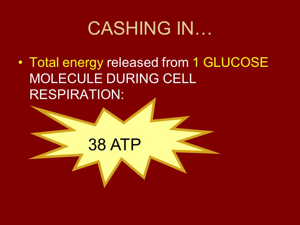 CASHING IN… Total energy released from 1 GLUCOSE MOLECULE DURING CELL RESPIRATION: 38 ATP