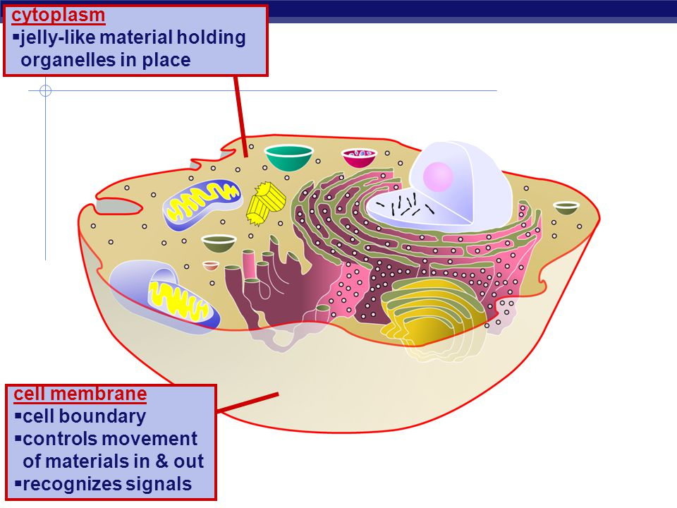 cytoplasm jelly-like material holding organelles in place. cell membrane. cell boundary. controls movement of materials in & out.