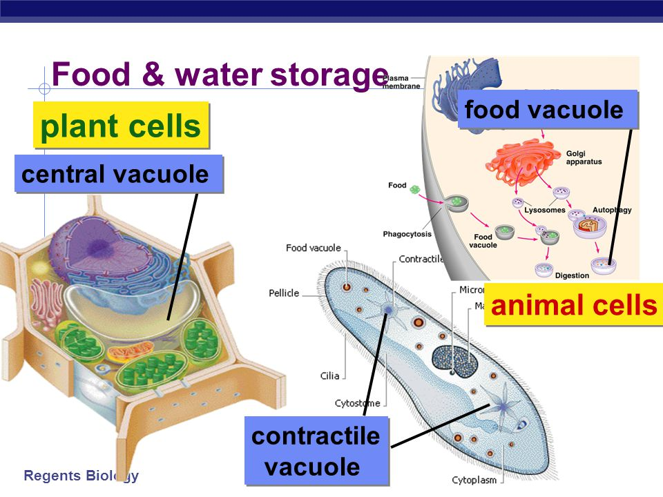 Food & water storage plant cells animal cells food vacuole