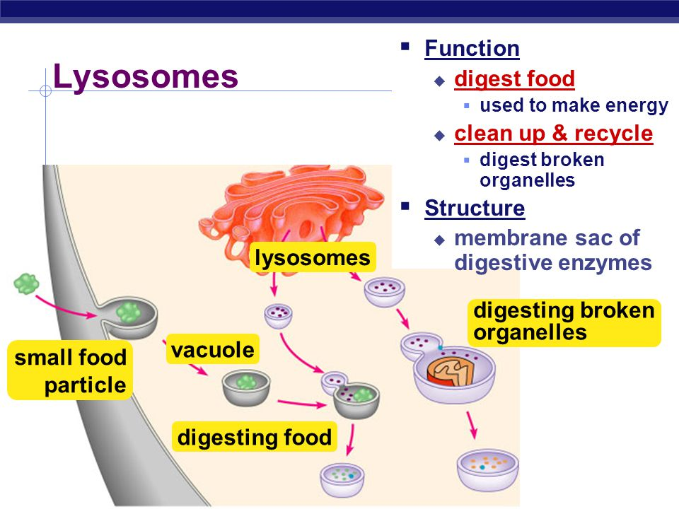 Lysosomes Function digest food clean up & recycle Structure