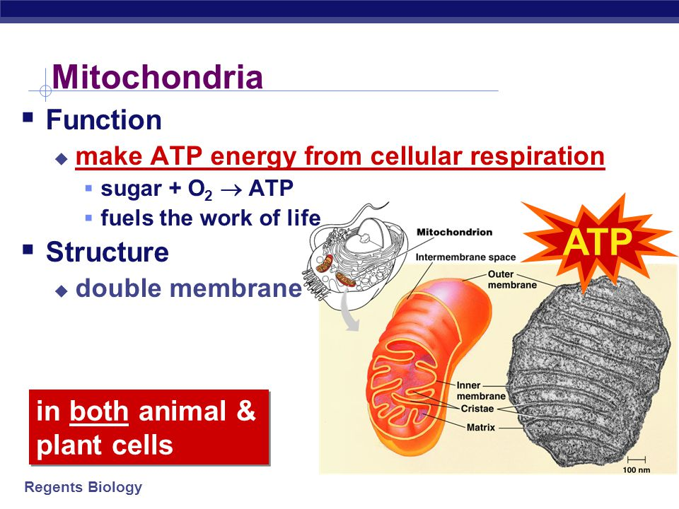 ATP Mitochondria Function Structure in both animal & plant cells