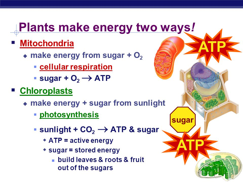 Plants make energy two ways!