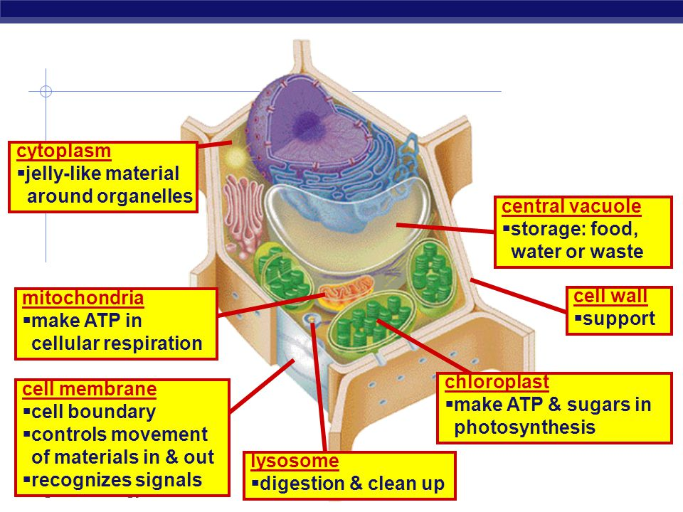 cytoplasm jelly-like material. around organelles. central vacuole. storage: food, water or waste.