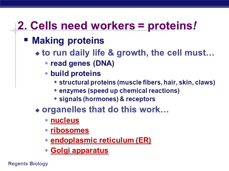 2. Cells need workers = proteins!