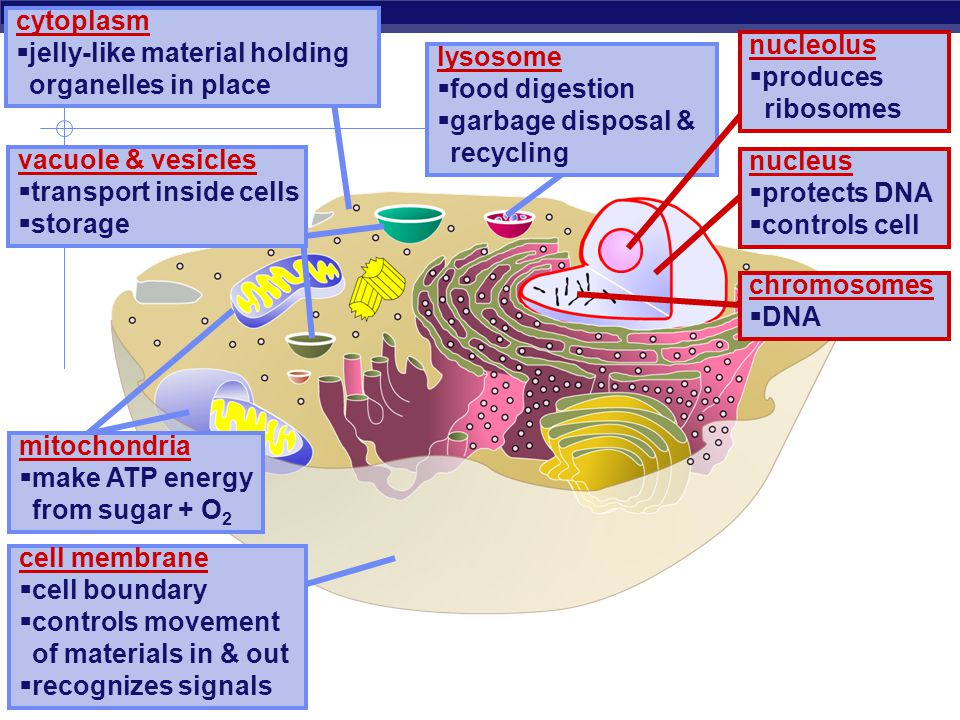 cytoplasm jelly-like material holding organelles in place. nucleolus. produces. ribosomes. lysosome.