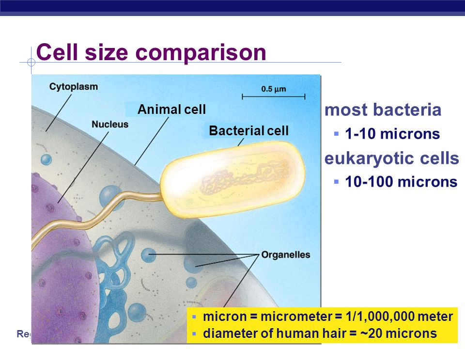 Cell size comparison most bacteria eukaryotic cells 1-10 microns