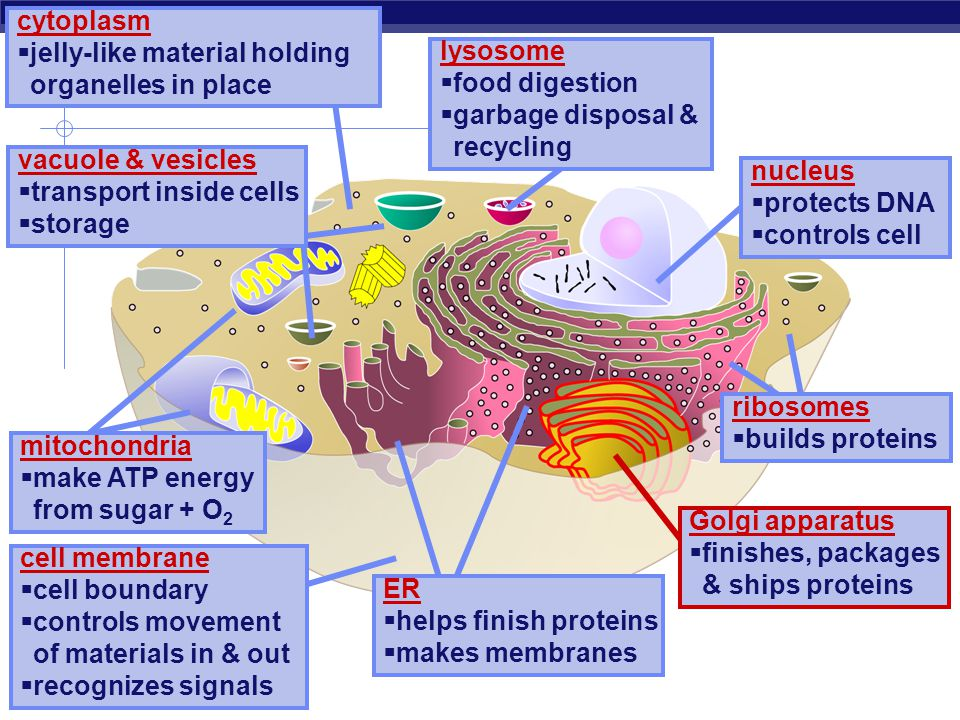 cytoplasm jelly-like material holding organelles in place. lysosome. food digestion. garbage disposal & recycling.