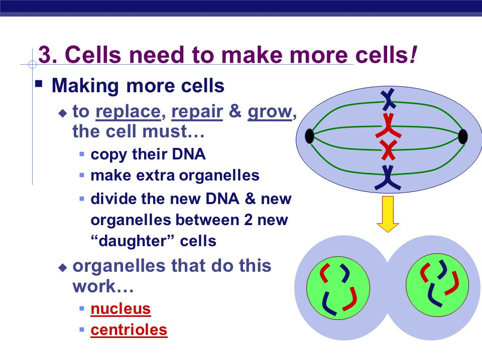 3. Cells need to make more cells!