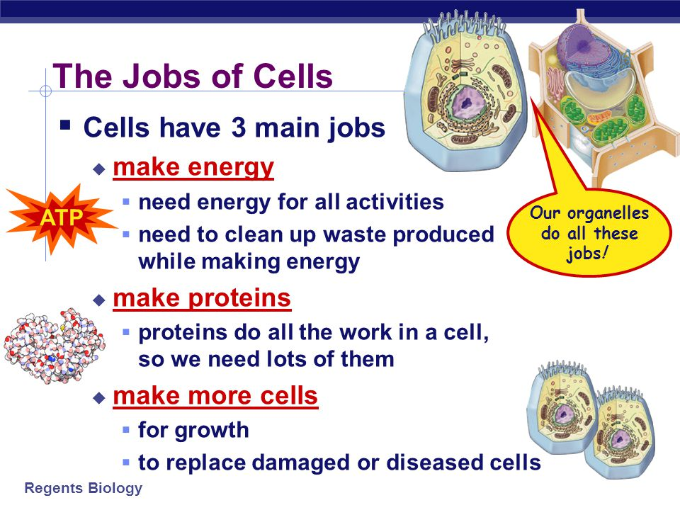 Our organelles do all these jobs!