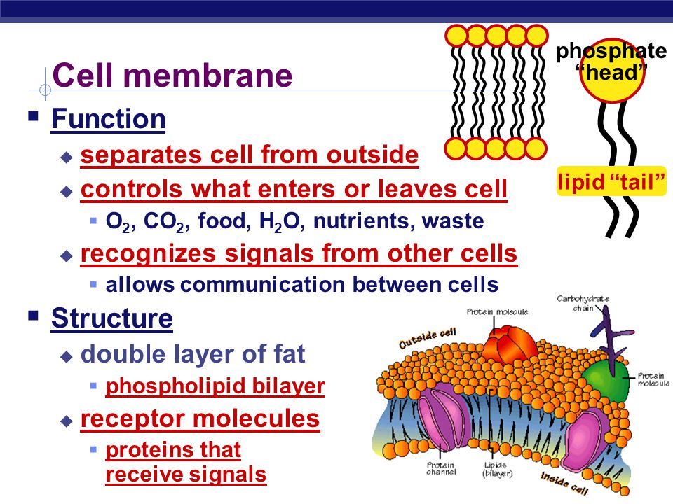 Cell membrane Function Structure separates cell from outside