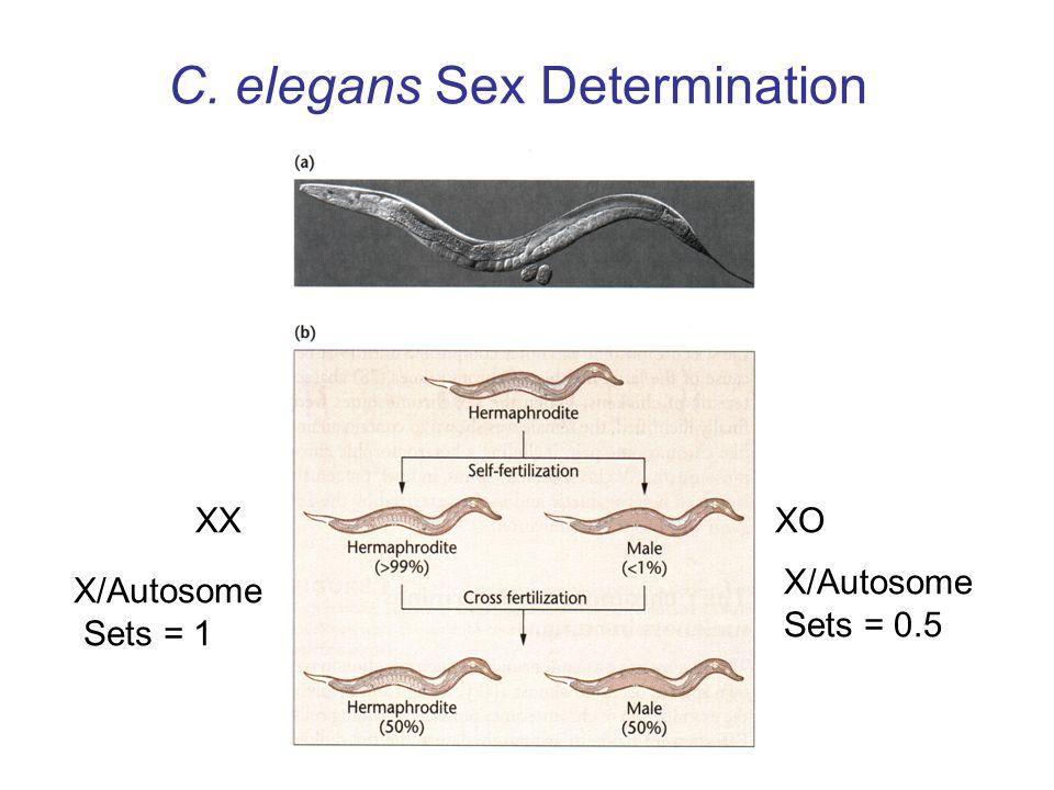 C. elegans Sex Determination