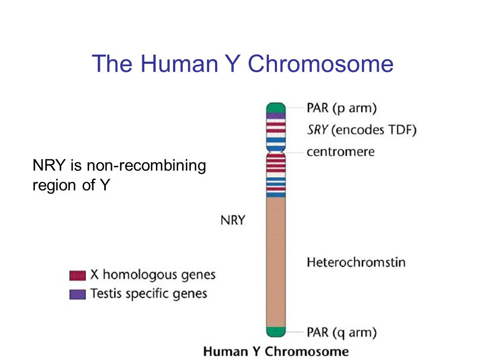 The Human Y Chromosome NRY is non-recombining region of Y