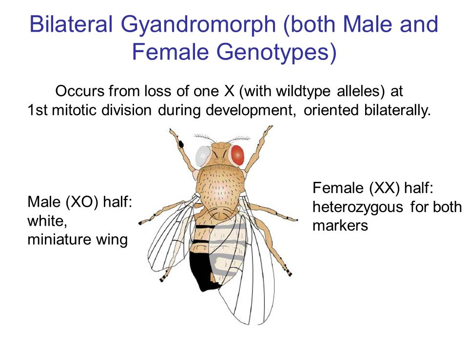 Bilateral Gyandromorph (both Male and Female Genotypes)
