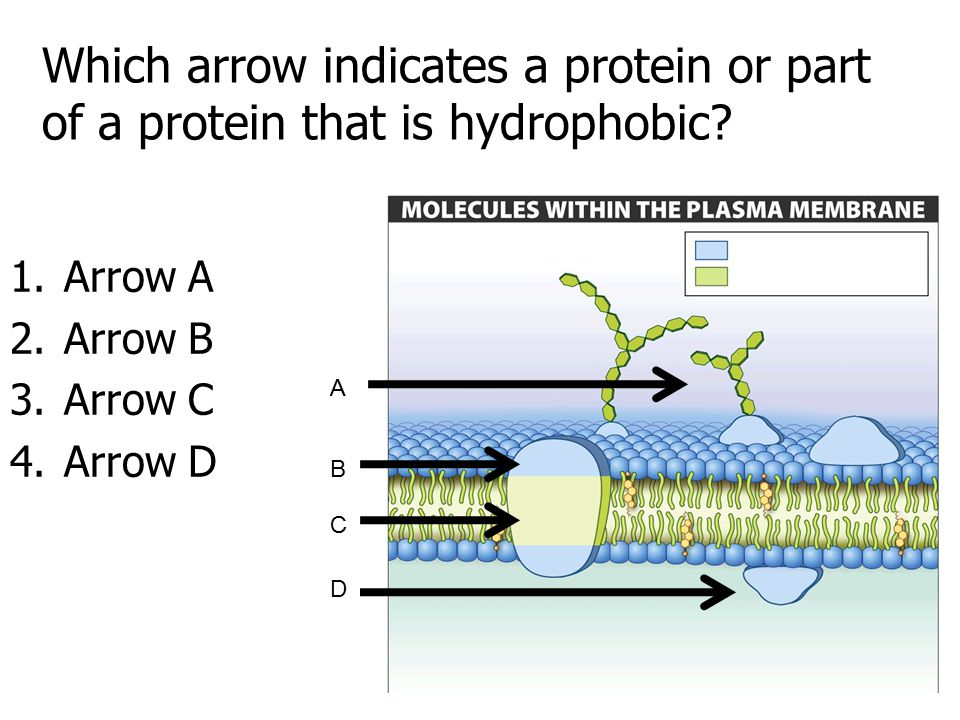 Which arrow indicates a protein or part of a protein that is hydrophobic