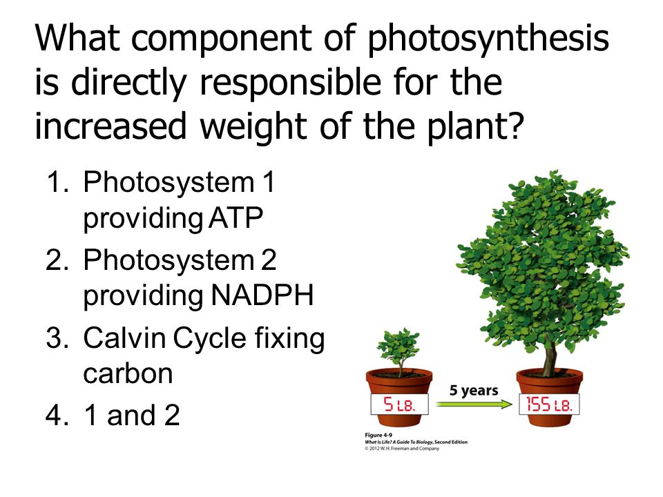 Answer: 3. Calvin cycle fixes carbon allowing for the synthesis of organic macromolecules.