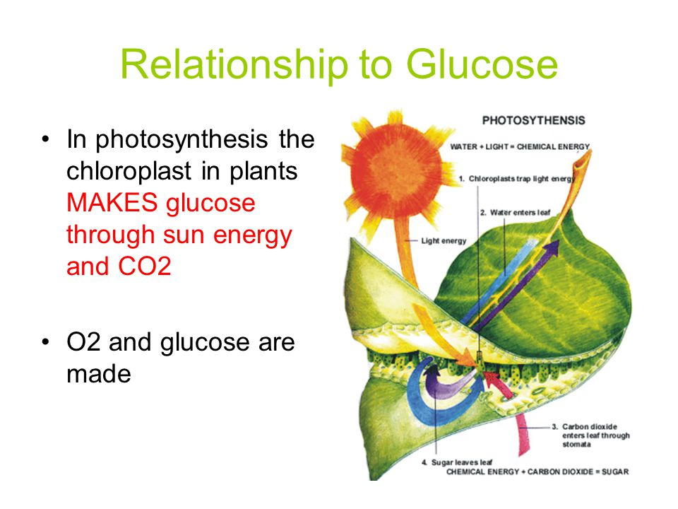 Relationship to Glucose