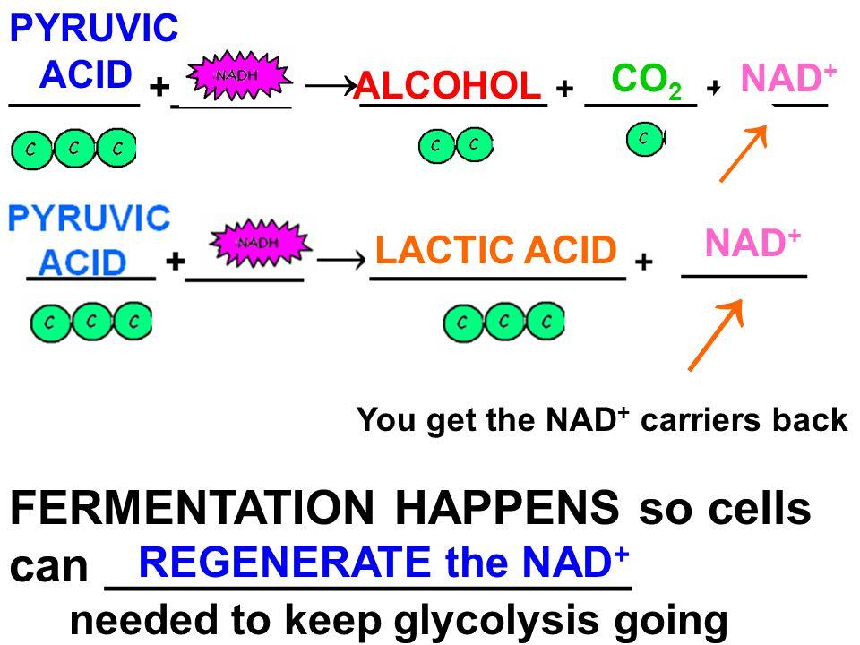 → → FERMENTATION HAPPENS so cells can ____________________