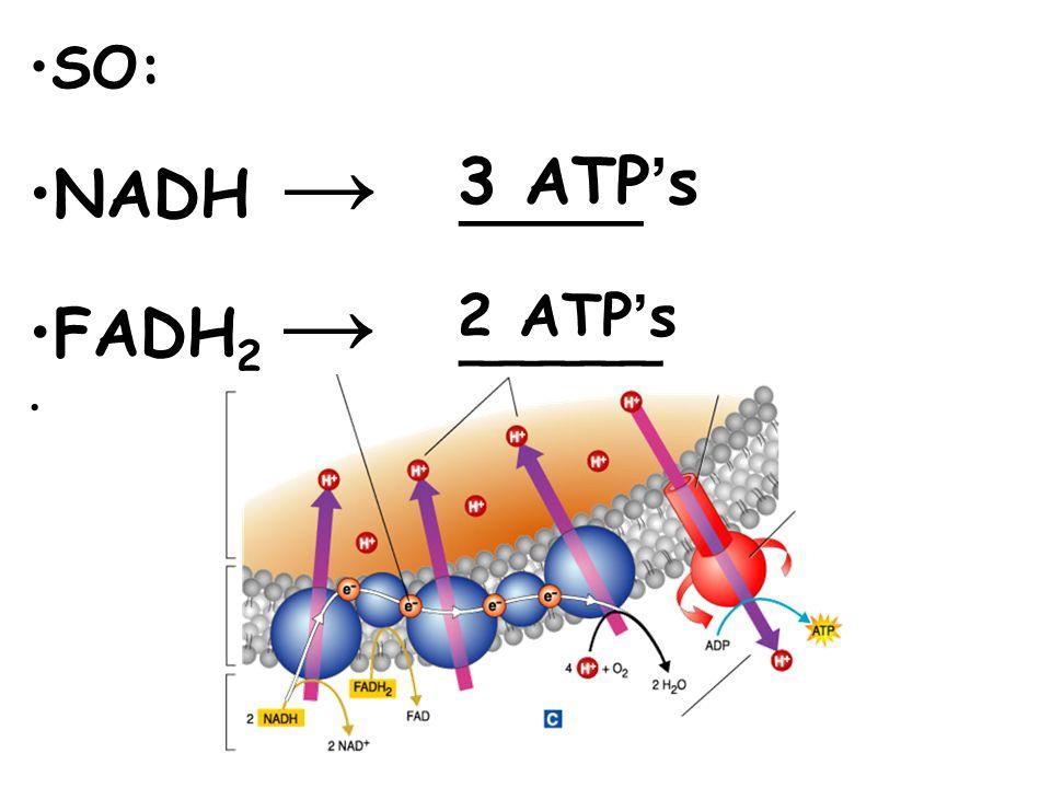 SO: NADH → _____ FADH2 → _____ 3 ATP's 2 ATP's