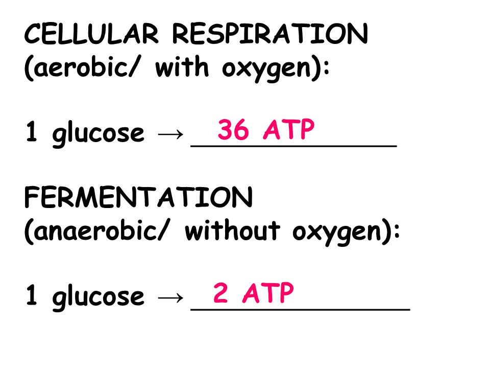 CELLULAR RESPIRATION (aerobic/ with oxygen): 1 glucose → _______________. FERMENTATION (anaerobic/ without oxygen):