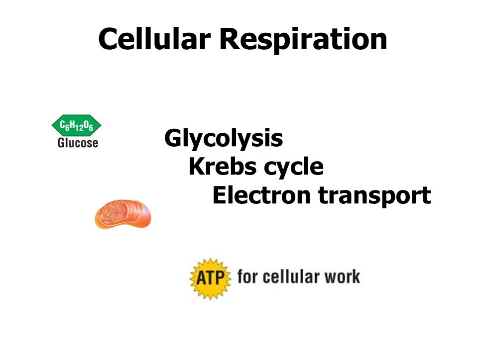 Cellular Respiration Glycolysis Krebs cycle Electron transport