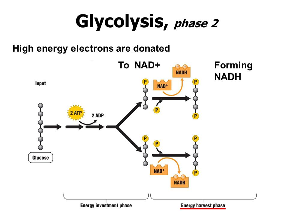 Glycolysis, phase 2 High energy electrons are donated To NAD+