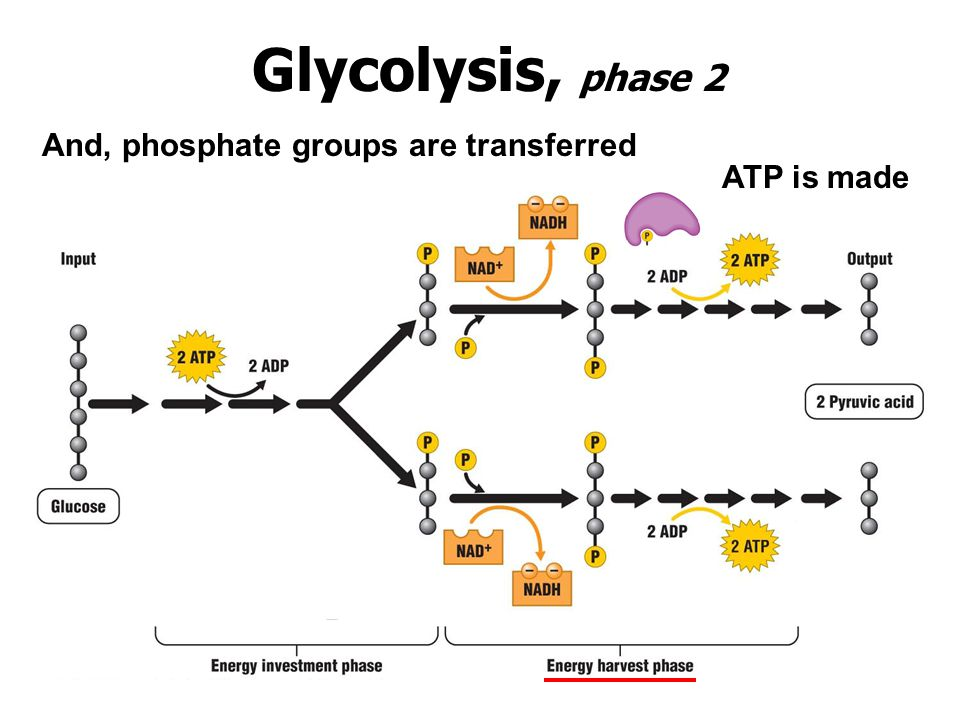 Glycolysis, phase 2 And, phosphate groups are transferred ATP is made
