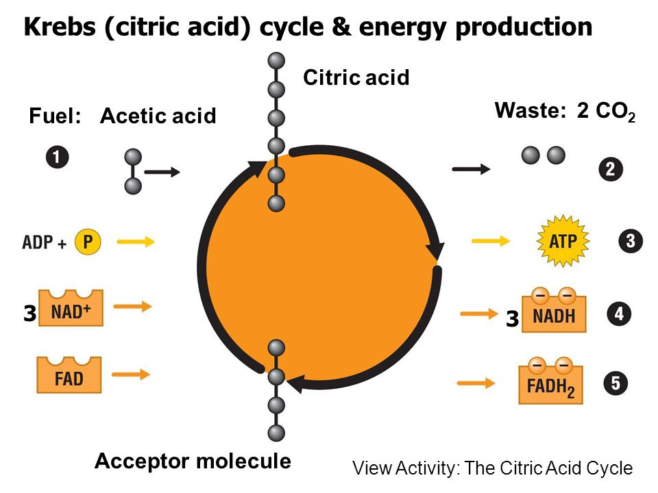 Krebs (citric acid) cycle & energy production