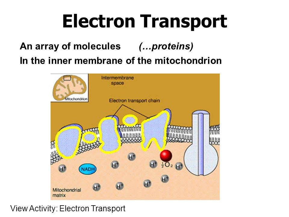 Electron Transport An array of molecules (…proteins)