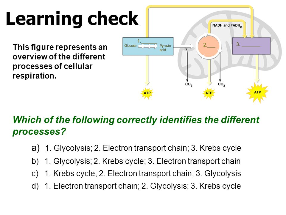 Learning check This figure represents an overview of the different processes of cellular respiration.