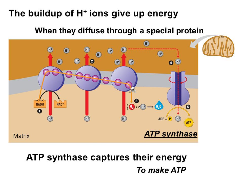 The buildup of H+ ions give up energy