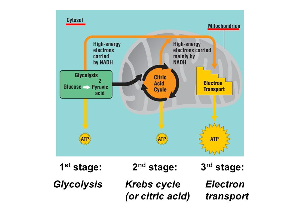 1st stage: 2nd stage: 3rd stage: Glycolysis Krebs cycle (or citric acid) Electron transport