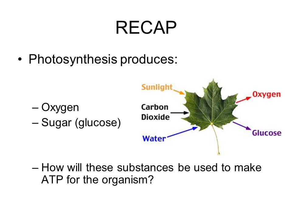 RECAP Photosynthesis produces: Oxygen Sugar (glucose)