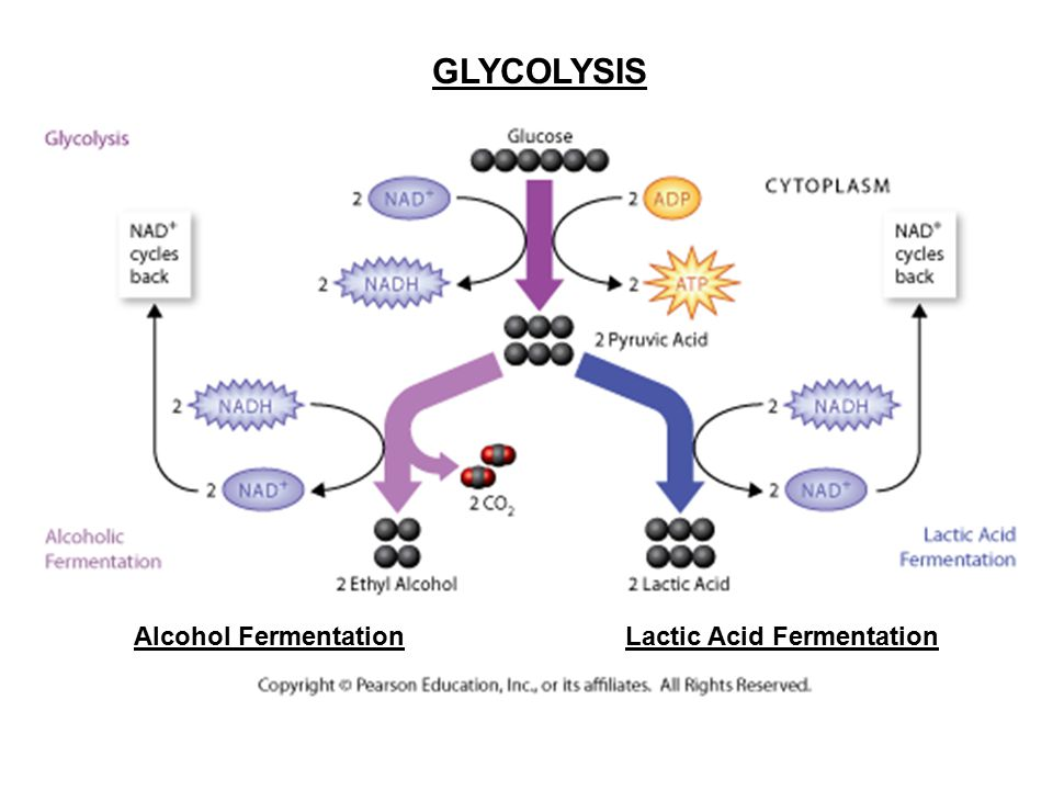 GLYCOLYSIS Alcohol Fermentation Lactic Acid Fermentation