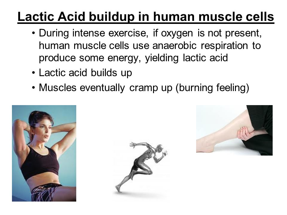 Lactic Acid buildup in human muscle cells