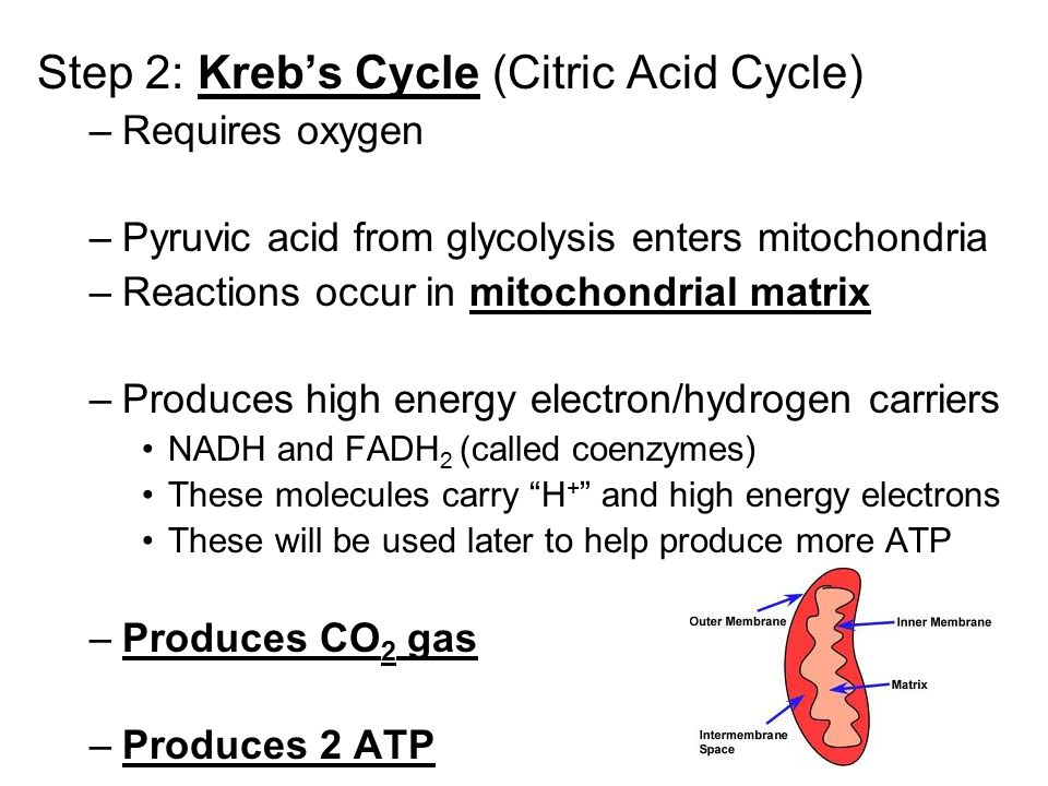 Step 2: Kreb's Cycle (Citric Acid Cycle)