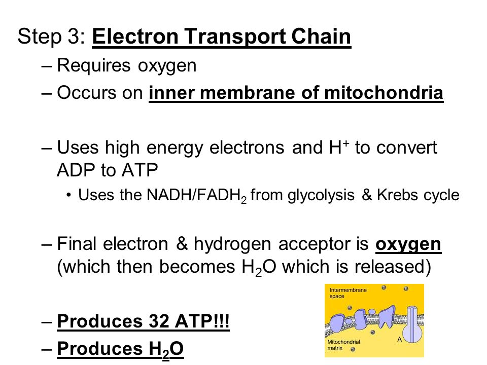 Step 3: Electron Transport Chain