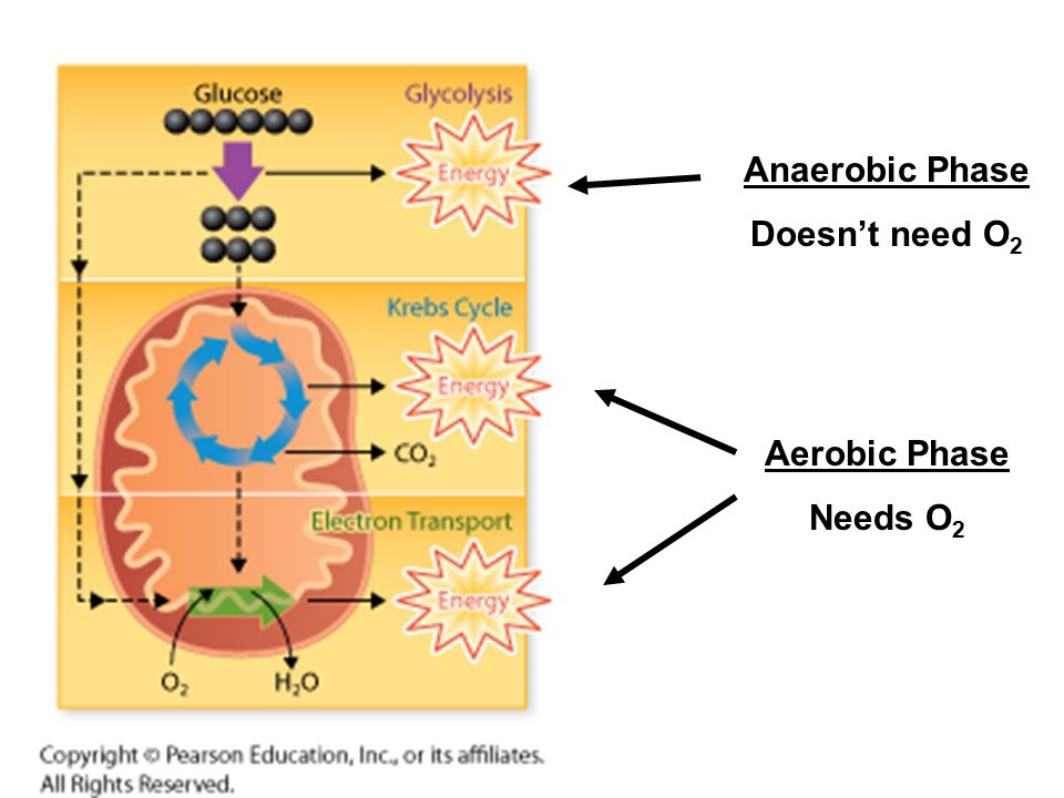 Anaerobic Phase Doesn't need O2 Aerobic Phase Needs O2