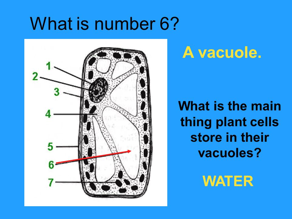 thing plant cells store in their vacuoles