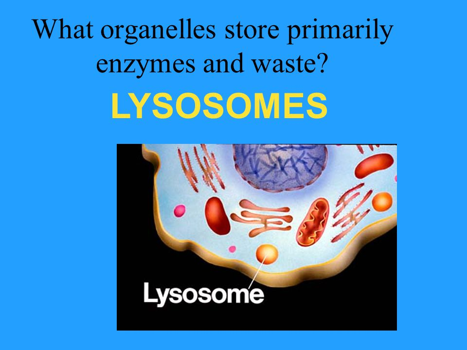 What organelles store primarily enzymes and waste
