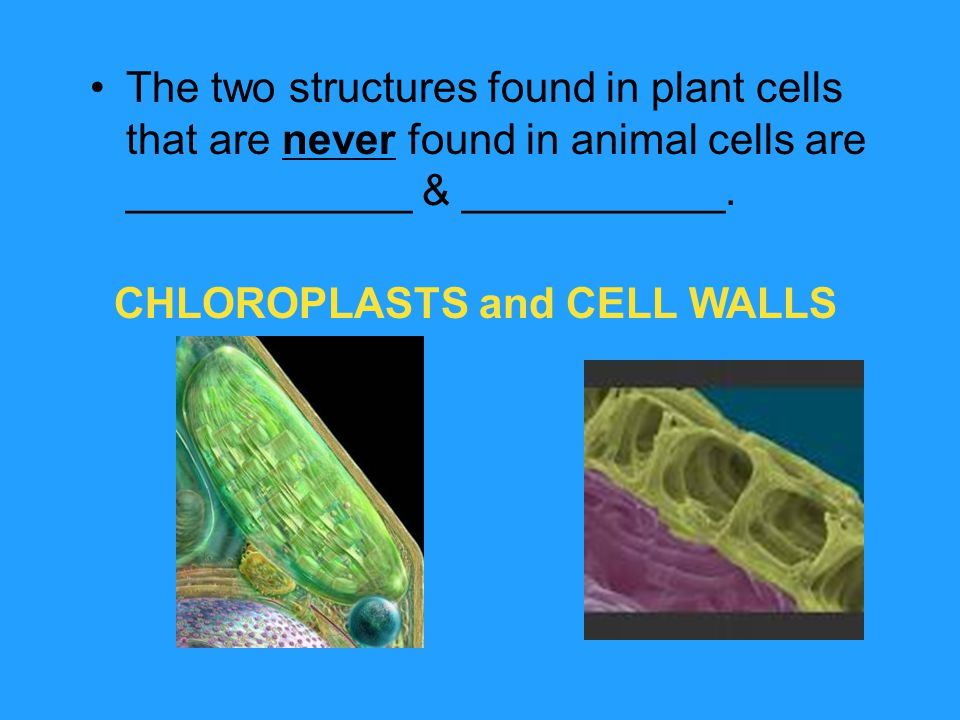 CHLOROPLASTS and CELL WALLS