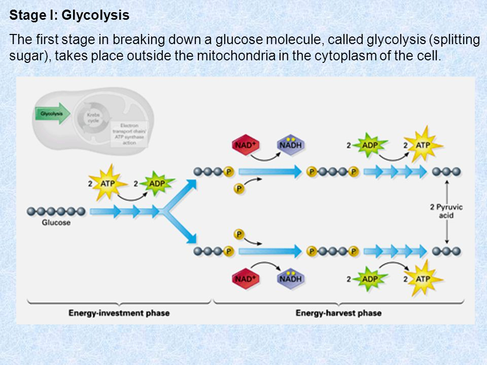Stage I: Glycolysis