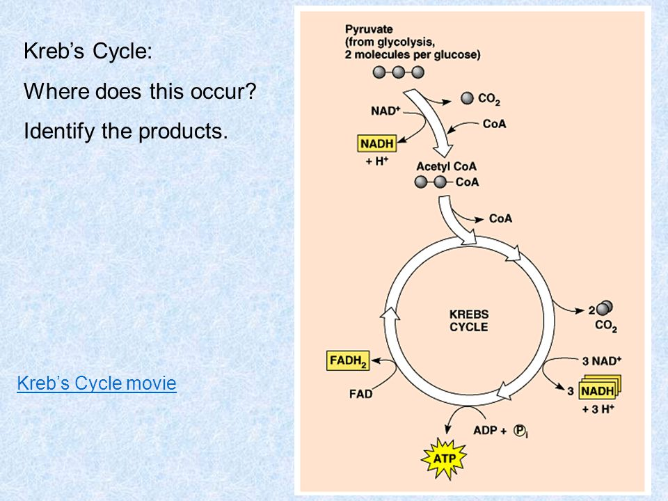 Kreb's Cycle: Where does this occur Identify the products.